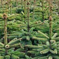 De gemeente geeft weer € 0,50 voor elke ingeleverde kerstboom.
