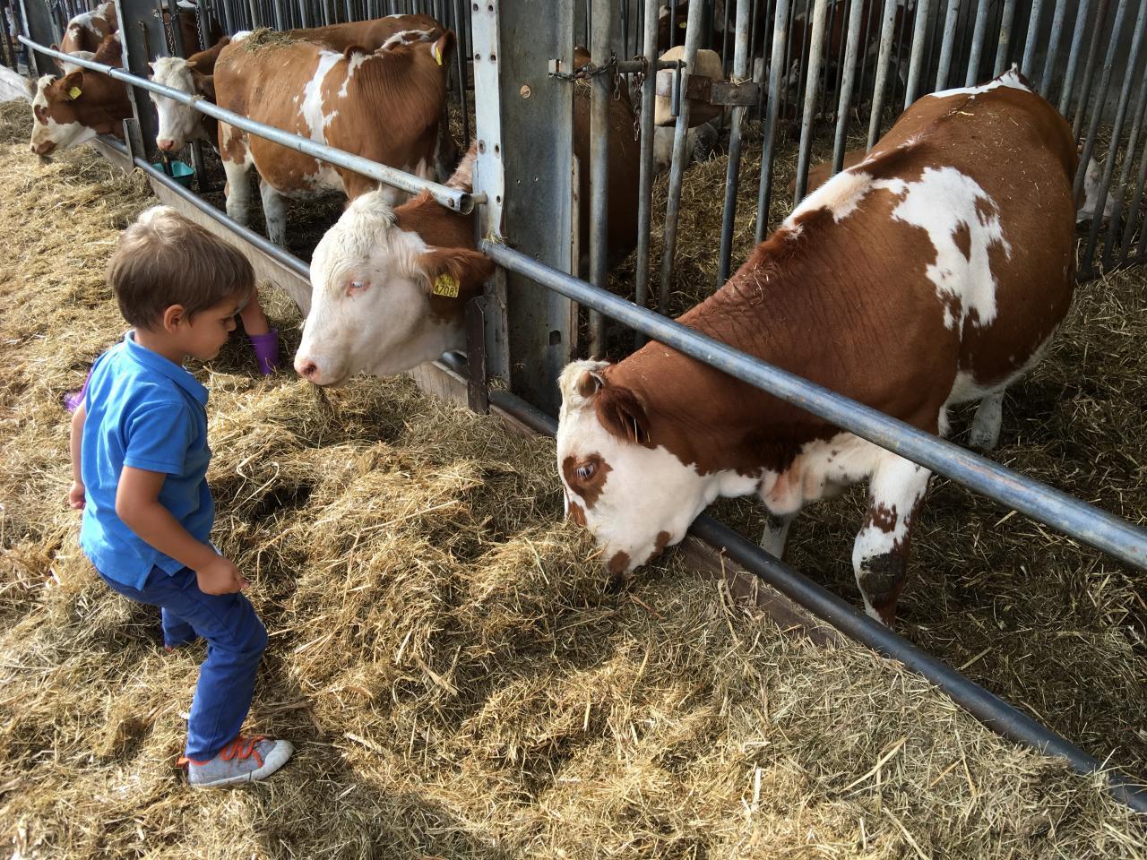 Klassiek koeienconcert bij hoeve Biesland