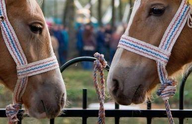 Paardenhandelaar veroordeeld tot 15 maanden cel