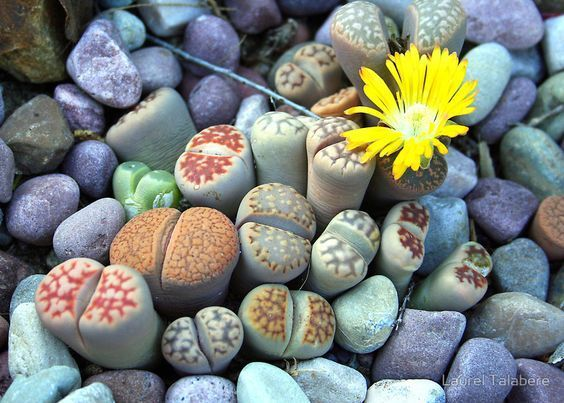 Geding bij Raad van State om importvergunning cactuszaad