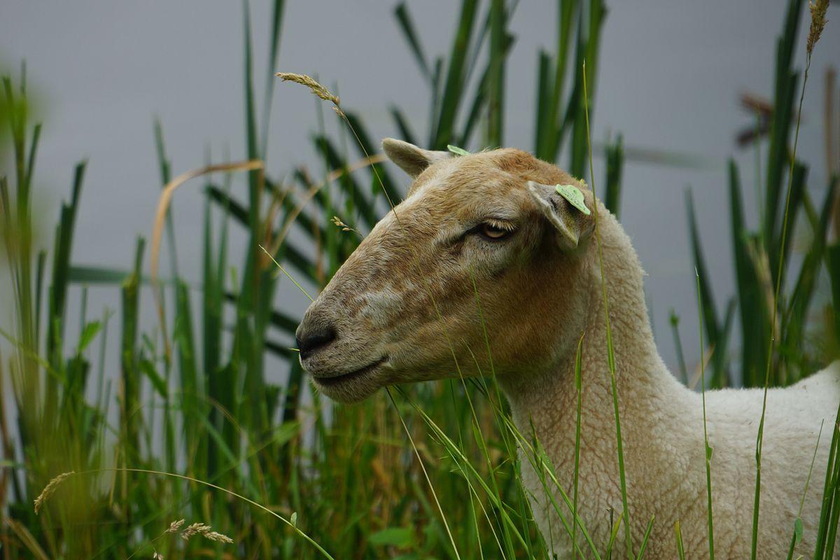 Al tien jaar succes met schapen